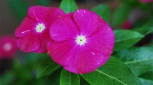 长春花的繁殖方法