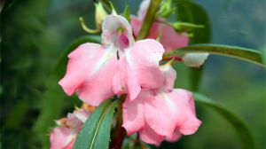 凤仙花的种植方法
