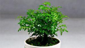 清香木怎么繁殖