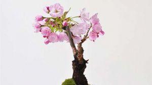 樱花什么时候开花