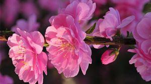 榆叶梅和碧桃的区别