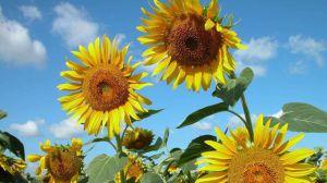 向日葵为什么会向着太阳