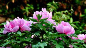牡丹花的品种有哪些