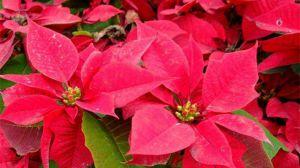 花卉一品红的养殖方法