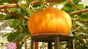 大南瓜的种植方法