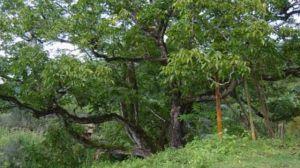 核桃树的修剪技术