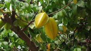 杨桃树可以盆栽吗