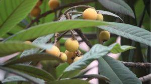 枇杷树怎么种植