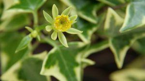 绿玉菊的养殖方法