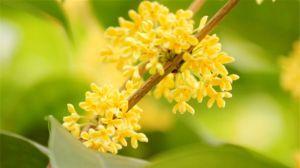 四季桂花的养殖方法