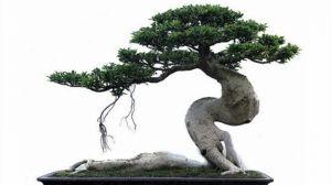 榕树盆景怎么嫁接