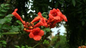 凌霄花的繁殖方法