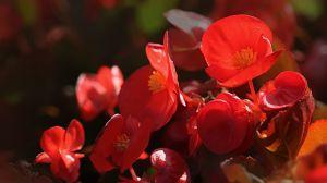 四季海棠的养殖方法
