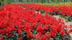 一串红什么时候播种