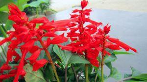 一串红的花蜜能吃吗