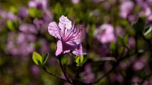 紫罗兰的居家风水作用