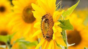 太阳花和向日葵的区别
