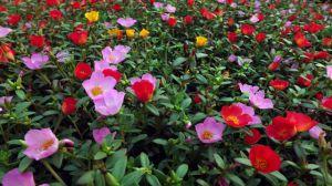 太阳花种植方法和时间