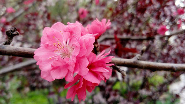 紫叶矮樱和紫叶李的区别