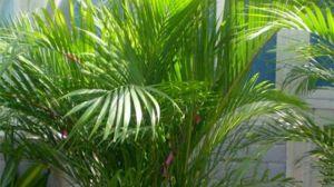 散尾葵的养殖方法