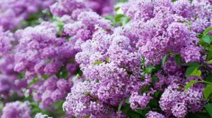 紫丁香是什么植物