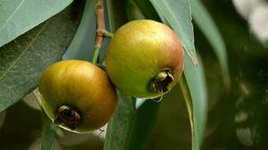 洋蒲桃和蒲桃的区别
