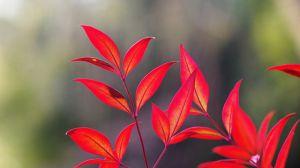 如何辨别红叶南天竹