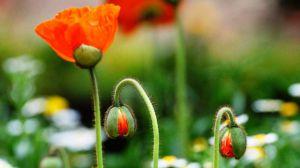 鬼罂粟和虞美人的区别
