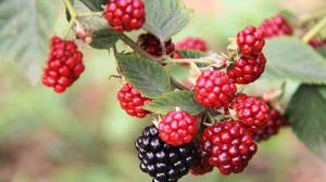 树莓和覆盆子的区别