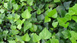 绿玉菊和常春藤的区别