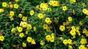 黄蝉和软枝黄婵的区别