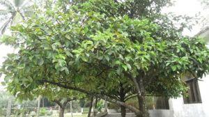 山竹树长什么样