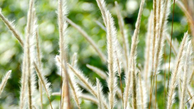 白茅和芦苇的区别