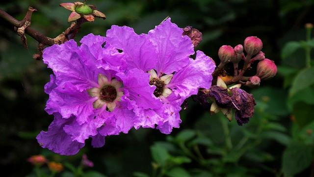 紫荆花和紫薇花的区别