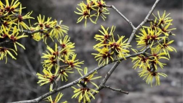 银缕梅和金缕梅有什么区别