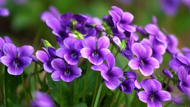 活血丹和紫花地丁区别