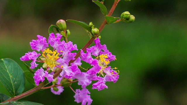 紫荆和紫薇的区别