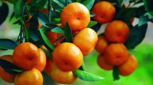 柑橘和橙子的区别