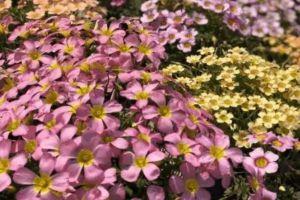 这种花扔盆里就活,一个月开成七彩瀑布,神仙来了都得夸!