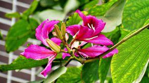 紫荆花和羊蹄甲的区别