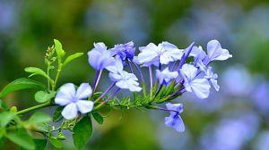 蓝星花和蓝雪花的区别