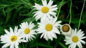 白晶菊和大滨菊的区别