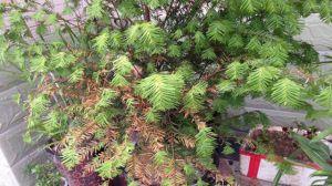 红豆杉叶子发黄的原因及解决方法