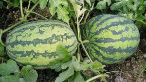 西瓜籽是怎么种出来的