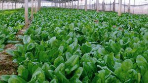 菠菜种子怎么种