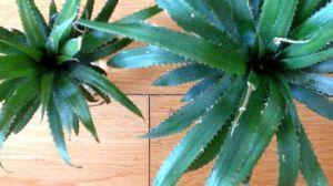 菠萝怎么种植