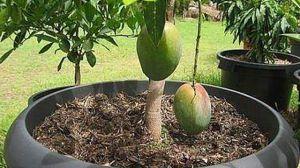芒果核怎么种盆栽