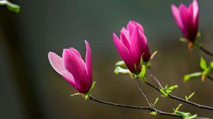 紫玉兰和广玉兰的区别