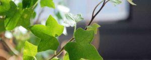 爬山虎和常春藤怎么区分