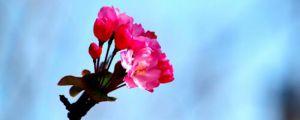 家里养海棠花有什么好处
